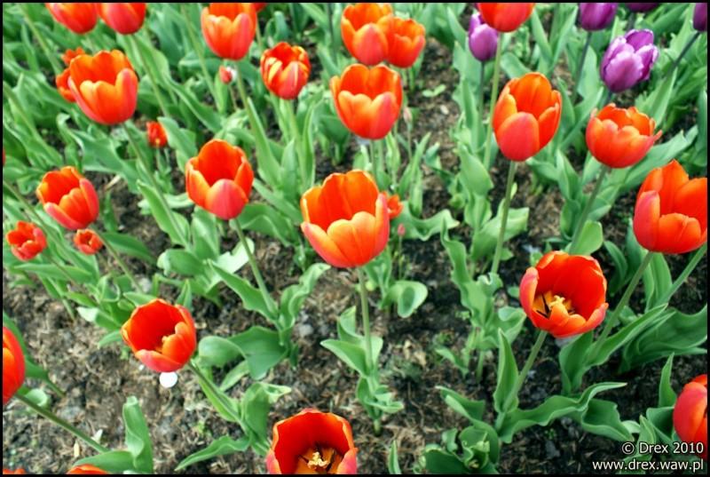 Tulipany. Śródmiejskie. ;-)